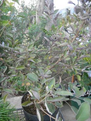 ミツバハマゴウ