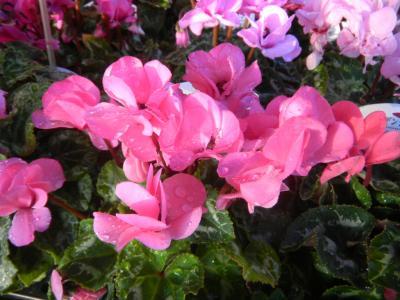八重咲きガーデンシクラメン
