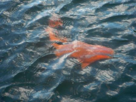 2012.09.02 赤鯉 BIG