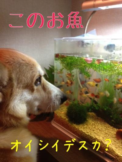 このお魚オイシイデスか