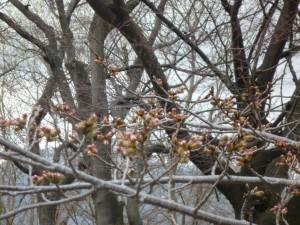 0326桜1
