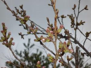 0326桜2
