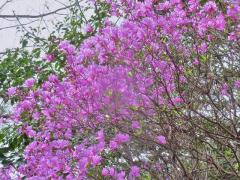 4月13日 山をピンクに染めたミツバツツジ