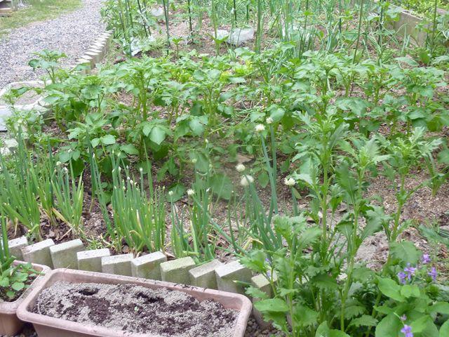 5月5日 mini 菜園 北側