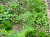 5月5日 南側菜園