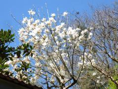 青龍寺のコブシの花 満開