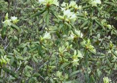 嶮しい尾根に咲くヒカゲツツジに出会う14_28