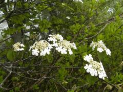 オオカメの木 花