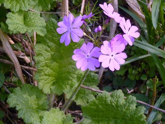 サクラソウ 自生地 蒜山で鮮やかなピンク色