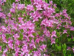ミツバツツジ ピンクの色濃く 蒜山高原 満開のツツジ