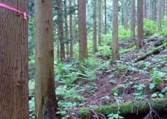 30分、杉の植林帯を急降下、しかし、ピンクのテープが無くなる。