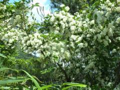 ガマズミ 満開 一面の緑に一際 真白く清清とたくさんの木がある。