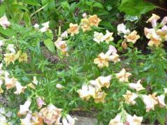 キンギョソウ 春先から咲き続けて…今も咲く