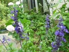 ブルーサルビア 1年草なのに?越冬して今年も咲きました。咲いてます。