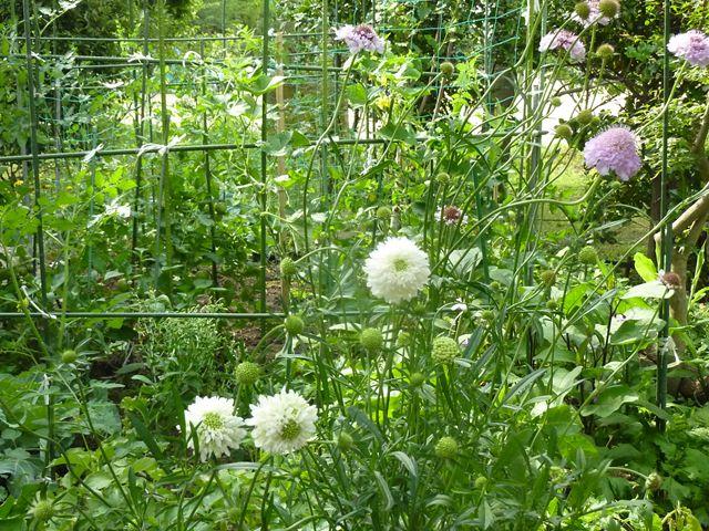 八重のマーガレット?? 菜園まで伸びて咲く