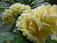 6/1 黄色バラにピンクの模様ができています。!!