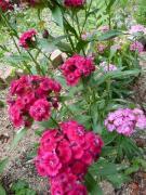 テルシタ(ナデシコ) 長期間咲いてます、多年草