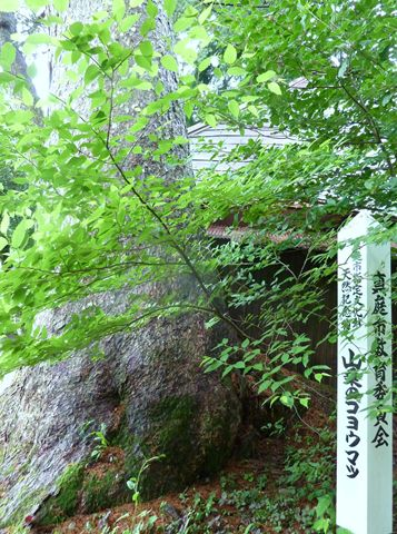 山乗渓谷 「ゴヨウマツ」 天然記念樹