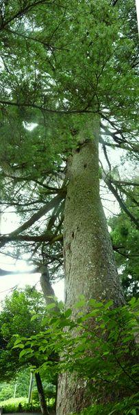 ゴヨウマツの巨木 観音堂近く パノラマ写真