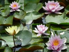 小名郷池のスイレン 白、黄色、ピンクの3色が咲いている。