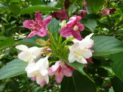 ウツギ ピンクと白が混じって咲いている、
