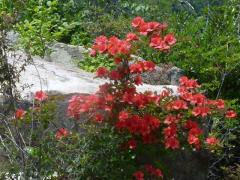 ヤマツツジ 6月 夏山の岩間に咲き和ませてくれる。