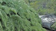 大きな葉『ウラジロ』群生