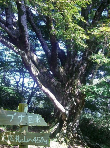 ブナの巨木の自生地