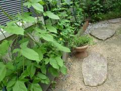 緑のカーテン アサガオとゴーヤで作る