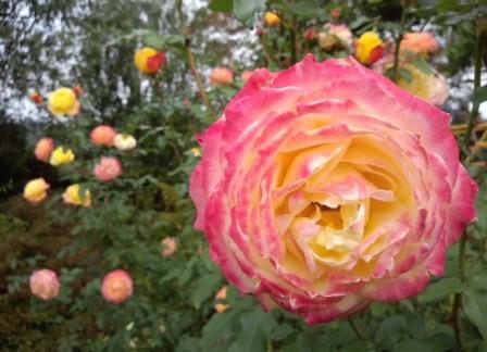 roze118.jpg
