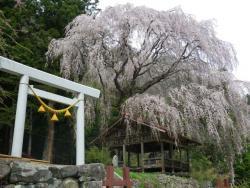 神明神社枝垂れ桜(高山市朝日町浅井)