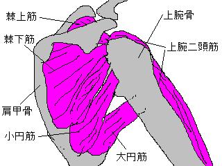 肩甲骨周辺の筋群