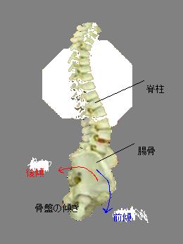 骨盤と脊柱
