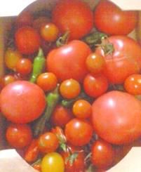 ミニトマトと合わせると、こんなに収穫できました。