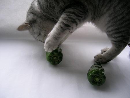 猫と野菜_ピーマンと猫のさくら_Kotechai_450x_DSCN7434
