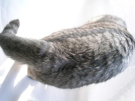 03-cat_Sakura_kotechai_猫写真_さくら