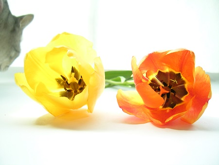 チューリップ (Tulip)と猫_Kotechai_DSCN8651