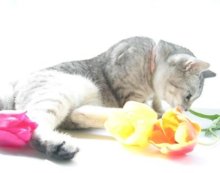 チューリップ (Tulip)と猫_Kotechai_DSCN8658