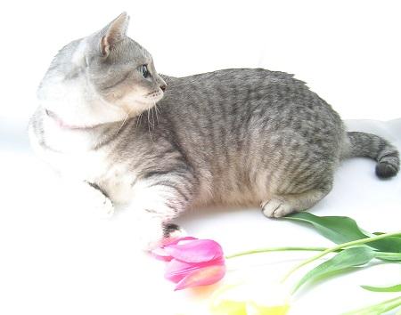 チューリップ (Tulip)と猫_Kotechai_DSCN8675