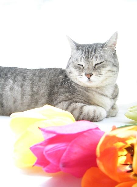 チューリップ (Tulip)と猫_Kotechai_DSCN8703