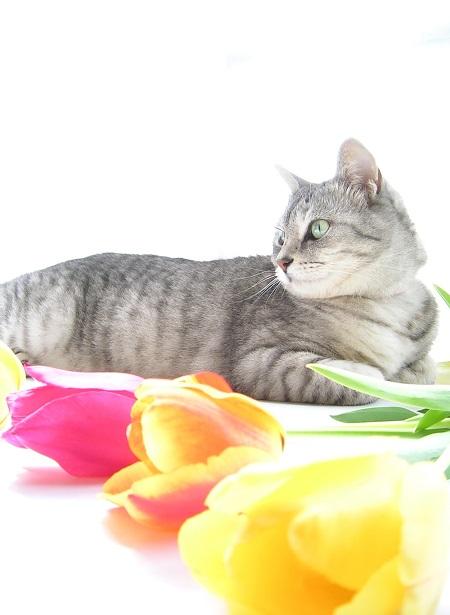 チューリップ (Tulip)と猫_Kotechai_DSCN8705