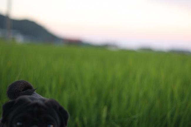 稲とぱぐ817
