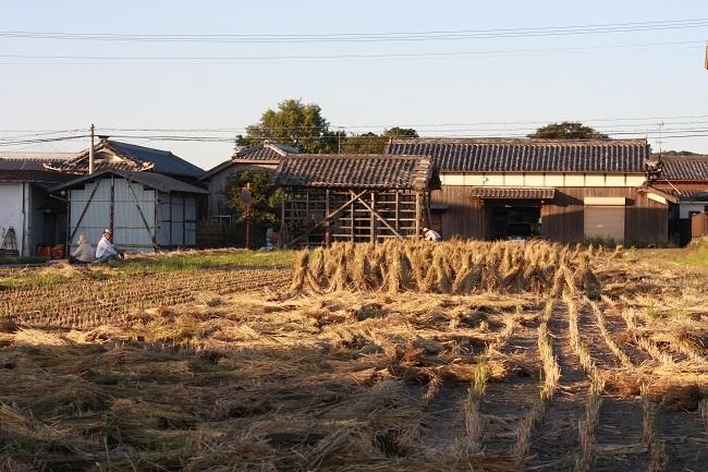 103稲刈りひき