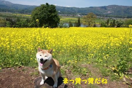 まっ黄っ黄