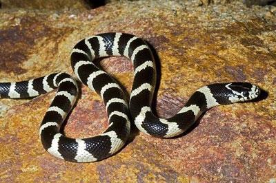 ヘビの黒と白の写真-nb13745
