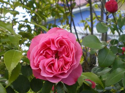 フォレストのバラ