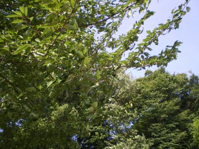 公園(木のアップ)