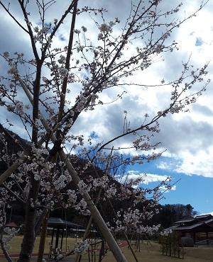 天狗の湯の桜