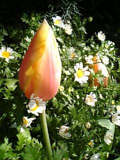tulip 2013