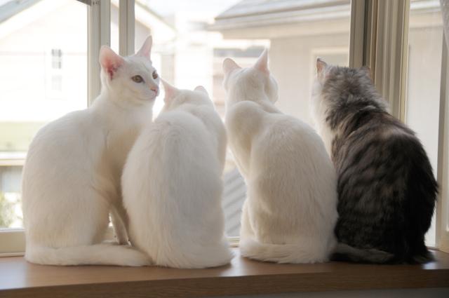 ねねと白猫三兄弟
